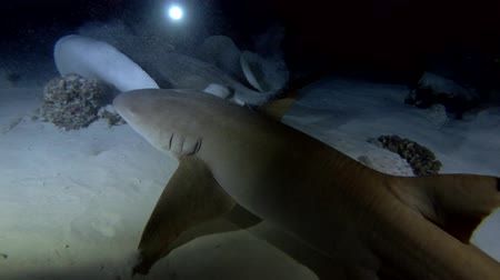 rekin : Scuba divers look at sharks and rays at night. Tawny nurse sharks (Nebrius ferrugineus) and Pink whipray (Himantura fai), Indian Ocean, Maldives