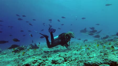 school of shark : Female scuba diver looks at tiger shark over reef. Tiger Shark (Galeocerdo cuvier), Indian Ocean, Fuvahmulah island, Maldives