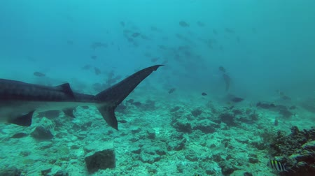 school of shark : group of scuba divers watching a Tiger Shark - Galeocerdo cuvier, Indian Ocean, Fuvahmulah island, Maldives Stock Footage