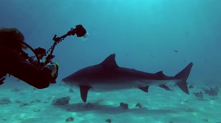 rekin : Underwater photographer shooting. Tiger Shark - Galeocerdo cuvier, Indian Ocean, Fuvahmulah island, Maldives