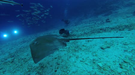 round stingray : Female scuba diver and stingrays. Pink whipray - Himantura fai and Round ribbontail ray - Taeniura meyeni, Indian Ocean, Maldives Stock Footage
