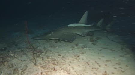 sicília : Giant Guitarfish - Rhynchobatus djiddensis swim in the night. Indian Ocean, Maldives