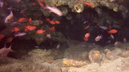 soldierfish : Life in underwater cave - Indian Ocean, Maldives, Asia Stock Footage
