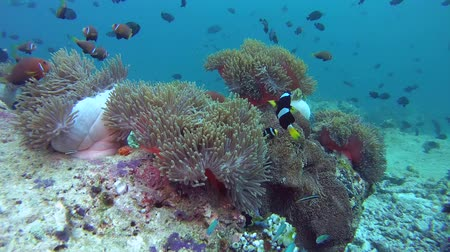 niger : school of anemonefish and triggerfish, swine over anemone, Maldive anemonefish - Amphiprion nigripes and Red-toothed triggerfish - Odonus niger. Indian Ocean, Maldives, Asia