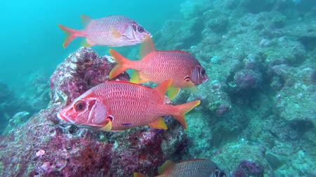 soldierfish : school of Saber Squirrelfish - Sargocentron spiniferum swim near coral reef. Indian Ocean, Maldives, Asia