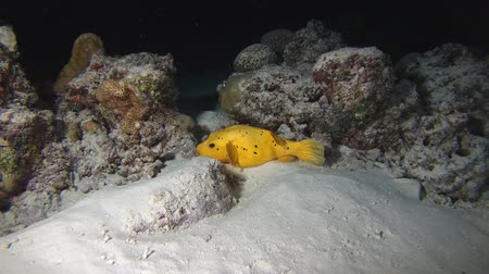 pufferfish : Yellow Blackspotted Puffer - Arothron nigropunctatus sleeps on a sandy bottom at night. Indian Ocean, Maldives, Asia