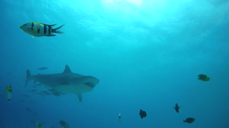 school of shark : Tiger shark swim in blue water - Indian Ocean, Fuvahmulah island, Maldives, Asia Stock Footage