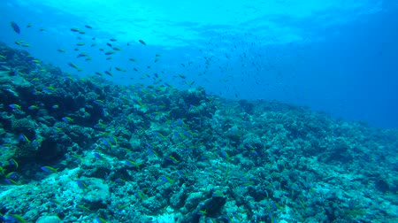 sereg : Massive school of anthias swims over coral reef, Yellowback Anthias - Pseudanthias evansi. Indian Ocean, Fuvahmulah island, Maldives, Asia