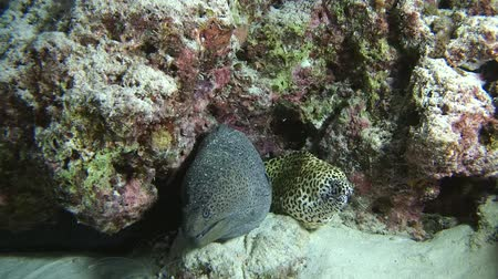 spiny : Two Morays with cleaner shrimp, Giant moray - Gymnothorax javanicus, Honeycomb Moray - Gymnothorax favagineus and Indian Ocean, Maldives, Asia