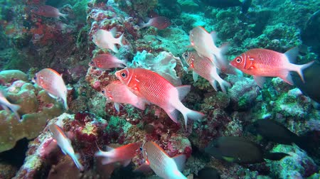 soldierfish : school of Silverspot squirrelfish - Sargocentron caudimaculatum swim near coral reef. Indian Ocean, Maldives, Asia Stock Footage