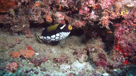 palyaço : Clown Triggerfish - Balistoides conspicillum near coral reef. Indian Ocean, Maldives, Asia Stok Video
