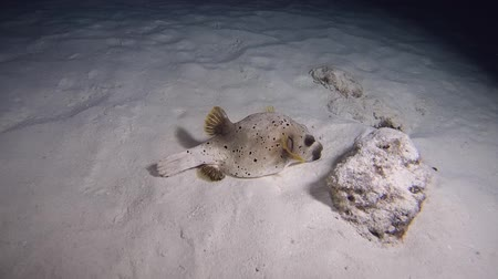 pufferfish : Blackspotted Puffer - Arothron nigropunctatus sleeps on a sandy bottom at night. Indian Ocean, Maldives, Asia