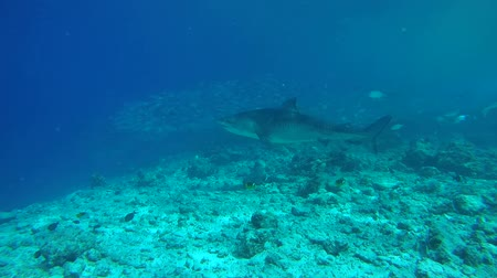 school of shark : Tiger shark swims over the slope of the reef, Tiger shark - Galeocerdo cuvier. Indian Ocean, Fuvahmulah island, Maldives, Asia