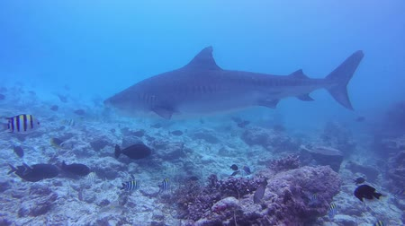 леопард : Tiger shark swims over bottom of reef - Indian Ocean, Fuvahmulah island, Maldives, Asia Стоковые видеозаписи