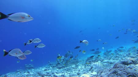 sereg : Flocks of different tropical fish swim in blue water over the reef - Indian Ocean, Fuvahmulah island, Maldives, Asia