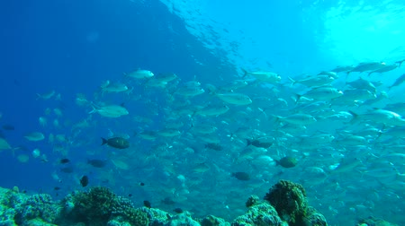 sereg : Massive school of bayads swims in the blue water over coral reef, Caranx sexfasciatus - Bigeye trevally, bigeye jack, great trevally, six-banded trevally and dusky jack. Indian Ocean, Fuvahmulah island, Maldives, Asia