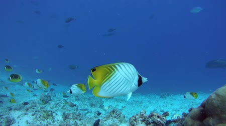 raccoon : school of Butterflyfish flees frightened by a school of Bayads, Butterflyfish Threadfin Butterflyfish - Chaetodon auriga, Raccoon butterflyfish - Chaetodon lunula and Giant trevally - Caranx ignobilis Indian Ocean, Fuvahmulah island, Maldives, Asia