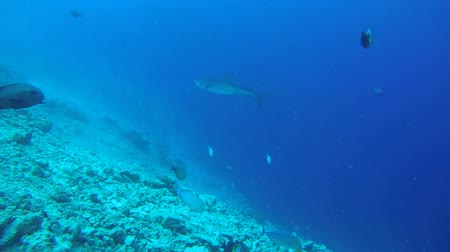 леопард : Tiger shark swim over bottom coral reef - Indian Ocean, Fuvahmulah island, Maldives, Asia