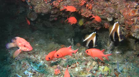soldierfish : Life in the underwater cave - Indian Ocean, Maldives, Asia