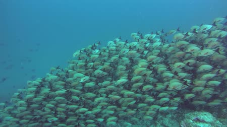 sereg : massive school of Humpback Red Snapper - Lutjanus gibbus flows down the slope of a coral reef. Indian Ocean, Maldives, Asia