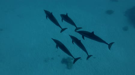 gray's : A pod of Spinner Dolphins swims over the sandy bottom (High-angle shot, Underwater shot, 4K  60fps)