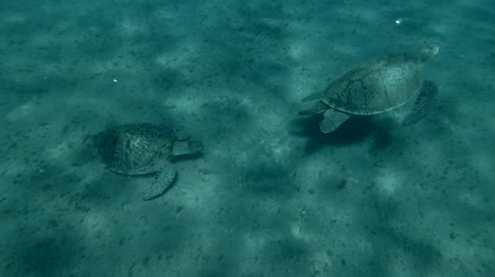territorial : Territorial sea of ??turtles. One turtle chases the other from its place. (Chelonia mydas) Underwater shot, 4K  60fps Stock Footage