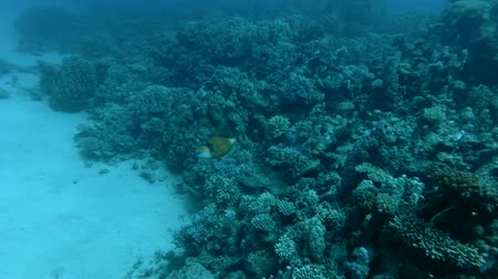 dotty : Titan Triggerfish Balistoides viridescens come near sideways over a coral reef (Underwater shot, 4K  60fps) Stock Footage