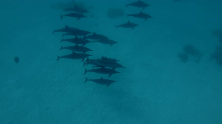 dolphin : A pod of Spinner Dolphins swims over the sandy bottom (High-angle shot, Underwater shot, 4K  60fps)