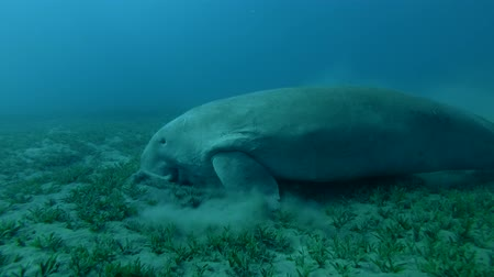 algi : Dugong eats sea grass (Dugong or Sea Cow, Dugong dugon) Close-up, Underwater shot, 4K  60fps