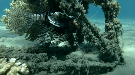 motyl : Red Lionfish Pterois volitans resting on the wreck upside down (Underwater shot, 4K  60fps) Wideo