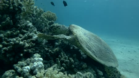mastigação : Sea turtle eats soft coral by thoroughly chewing it. Red sea, Marsa Alam, Abu Dabab, Egypt (Underwater shot, 4K  60fps)
