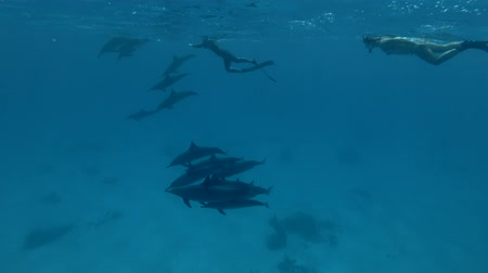 gray's : Group of tourists look at a pod of Spinner Dolphins swims underwater (Underwater shot, 4K  60fps) Stock Footage
