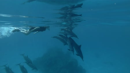 delfín : Tourist look at a pod of Spinner Dolphins swims underwater (Underwater shot, 4K  60fpss)