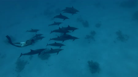 gray's : Freediver swim in a pod of Spinner Dolphins swims over the sandy bottom (High-angle shot, Underwater shot, 4K  60fps)