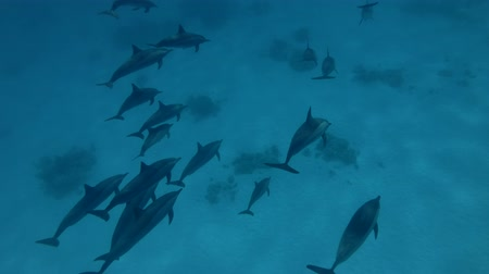 gray's : A pod of Spinner Dolphins dive to deep (Underwater shot, 4K  60fps) Stock Footage