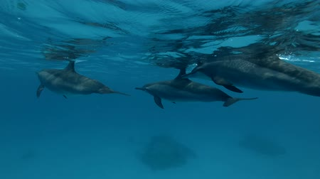 gray's : Group of Dolphins swims in the blue water under the surface (Spinner Dolphin, Stenella longirostris) Close-up, Underwater shot, 4K  60fps Stock Footage