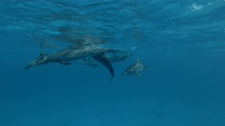 gray's : Group of Dolphins playing in the blue water (Spinner Dolphin, Stenella longirostris) Close-up, Underwater shot, 4K  60fps