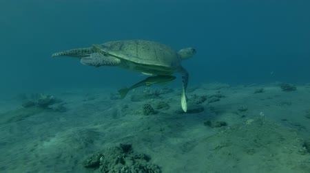 follow shot : Old male Green sea turtle swim over sandy bottom in the blue water (Chelonia mydas) Low-angle shot, Follow shot, Underwater shot, 4K  60fps