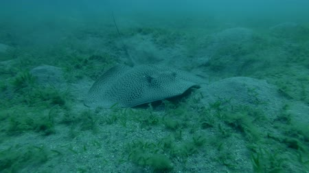 леопард : Longtail Stingray Himantura uarnak on the sandy bottom, Red sea, Marsa Alam, Marsa Mubarak, Egypt (Underwater shot, 4K  60fps)