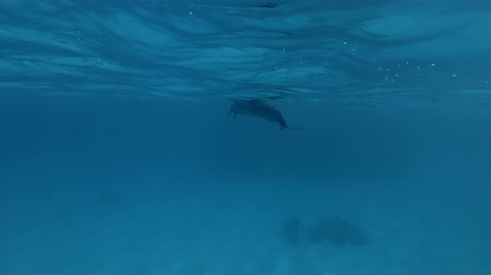 dolphin : Group of Spinner Dolphins swim in the blue water (Underwater shot, 4K  60fps)