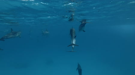merkezi : Group of Spinner Dolphins swim in the blue water (Underwater shot, 4K  60fps)