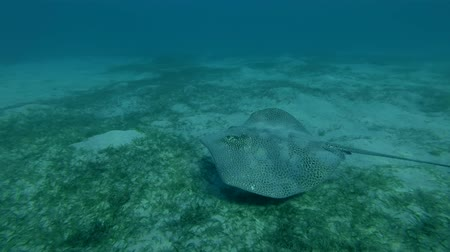 леопард : Longtail Stingray Himantura uarnak swim over sandy bottom, Red sea, Marsa Alam, Marsa Mubarak, Egypt (Underwater shot, 4K  60fps)