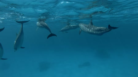 gray's : Group of pregnant female Spinner Dolphins slowly under surface of blue water and dive to deep (Underwater shot, 4K  60fps)
