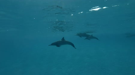 gray's : Litle group of dolphins swim under the surface of the blue water (Spinner Dolphin, Stenella longirostris) Close-up, Underwater shot, 4K  60fps