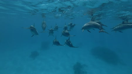gray's : Big group of pregnant female Spinner Dolphins slowly under surface of blue water (Underwater shot, 4K  60fps)