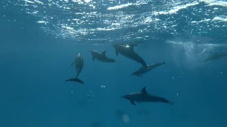 gray's : Group of Dolphins playing under the surface in the blue water (Spinner Dolphin, Stenella longirostris) Close-up, Underwater shot, 4K  60fps Stock Footage