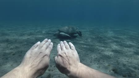 reptilia : A man swims to the Green sea turtle, from the 1-st person (virtual reality) Underwater shot, 4K  60fps