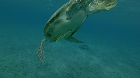respiração : Old male Green sea turtle lies on the surface of water, makes as much breaths and dives to the bottom (Chelonia mydas) Low-angle shot, Follow shot, Underwater shot, 4K  60fps