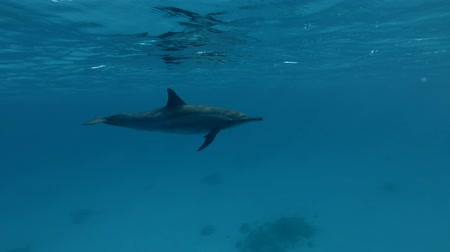 gray's : Dolphin swim in the blue water (Spinner Dolphin, Stenella longirostris) Close-up, Underwater shot, 4K  60fps Stock Footage