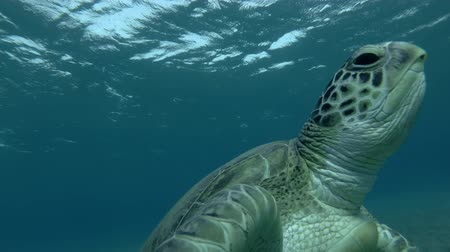 respiração : Green sea turtle swim to the surface of water (Chelonia mydas) Low-angle shot, Follow shot, Underwater shot, 4K  60fps